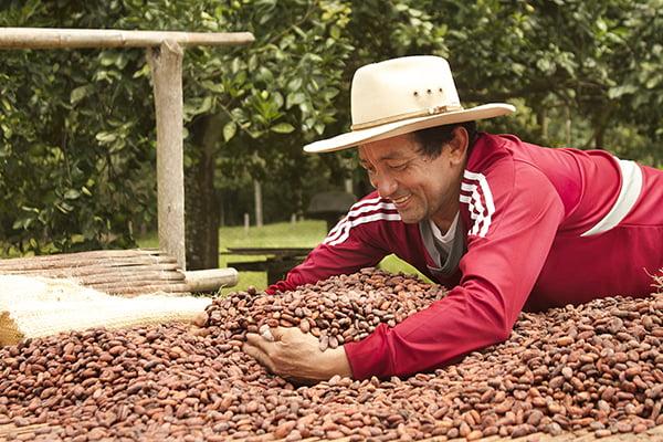Farmer gathering cocoa pods