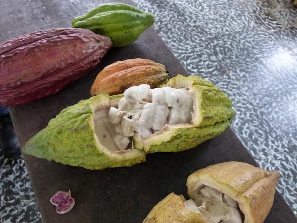 Freshly opened cocoa pods